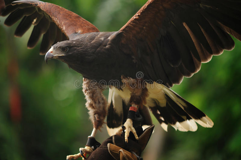 Download Harris's Hawk stock image. Image of bird, carnivorous - 15473155