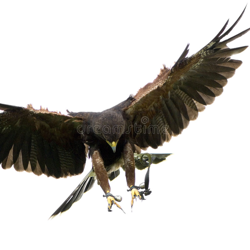Harris's Hawk (18 months) stock photos