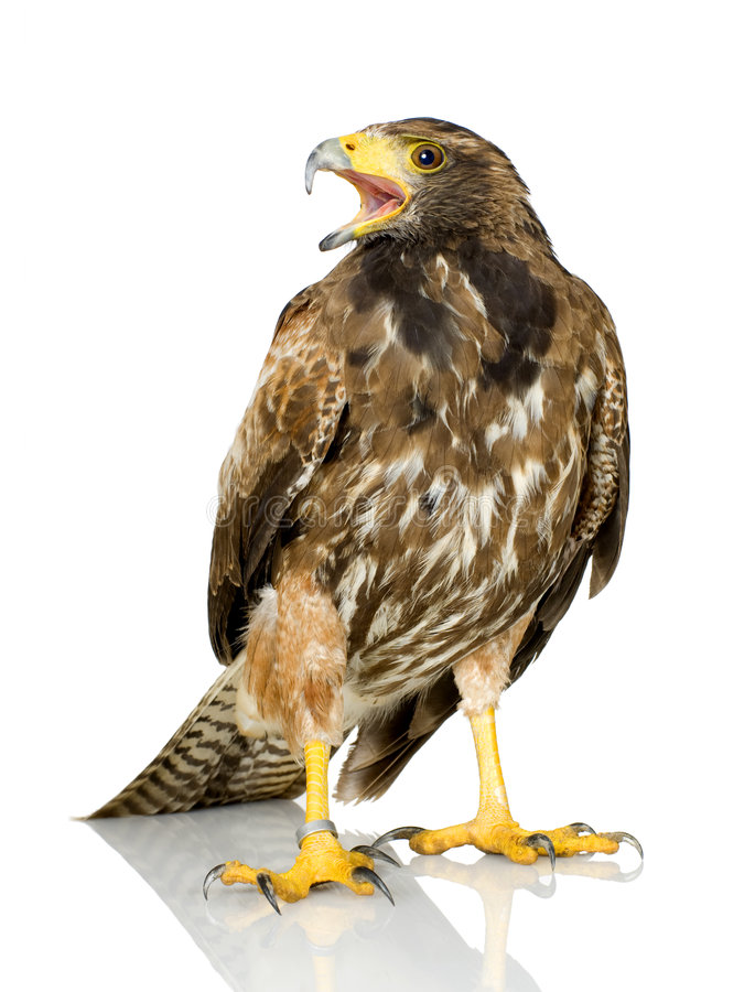 Harris's Hawk. In front of a white background