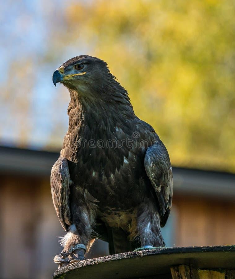 Harris`s hawk, Parabuteo unicinctus, bay-winged hawk or dusky hawk royalty free stock photography
