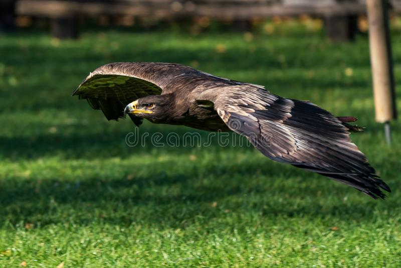 Harris`s hawk, Parabuteo unicinctus, bay-winged hawk or dusky hawk royalty free stock image