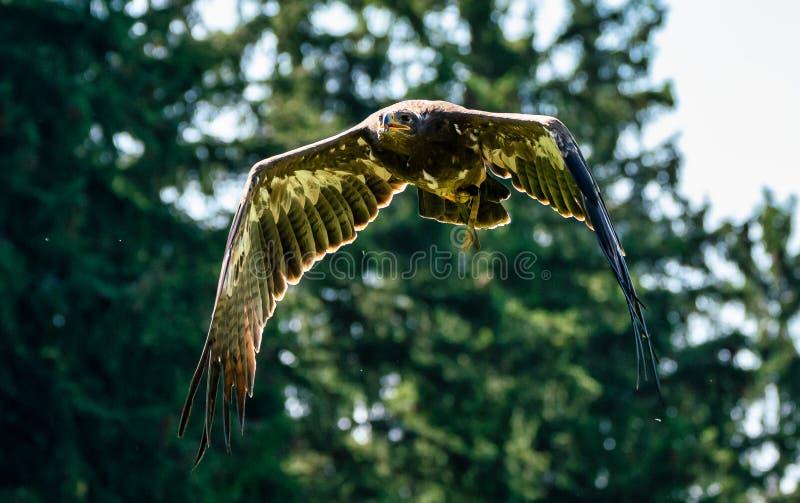 Harris`s hawk, Parabuteo unicinctus, bay-winged hawk or dusky hawk stock photos