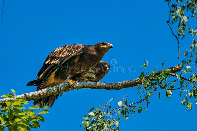 Harris`s hawk, Parabuteo unicinctus, bay-winged hawk or dusky hawk stock images