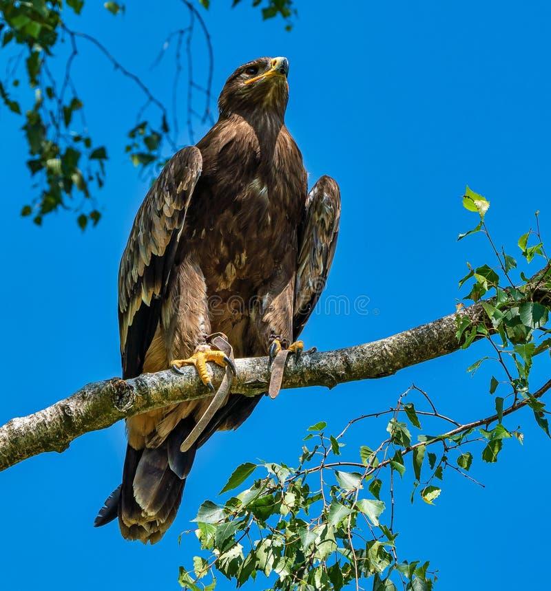 Harris`s hawk, Parabuteo unicinctus, bay-winged hawk or dusky hawk stock image