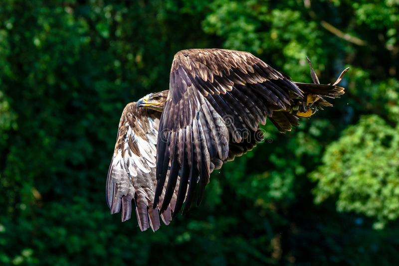Harris`s hawk, Parabuteo unicinctus, bay-winged hawk or dusky hawk royalty free stock photos
