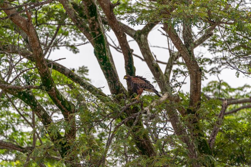 Harris's Hawk (Parabuteo unicinctus) in Puntarenas, Costa Rica stock photos