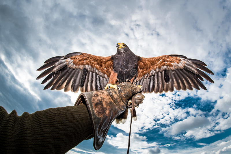 Harris's Hawk wings outstretched glove falconer. Aggressive bird Harris's Hawk sitting on the glove falconer with wings spread stock photo
