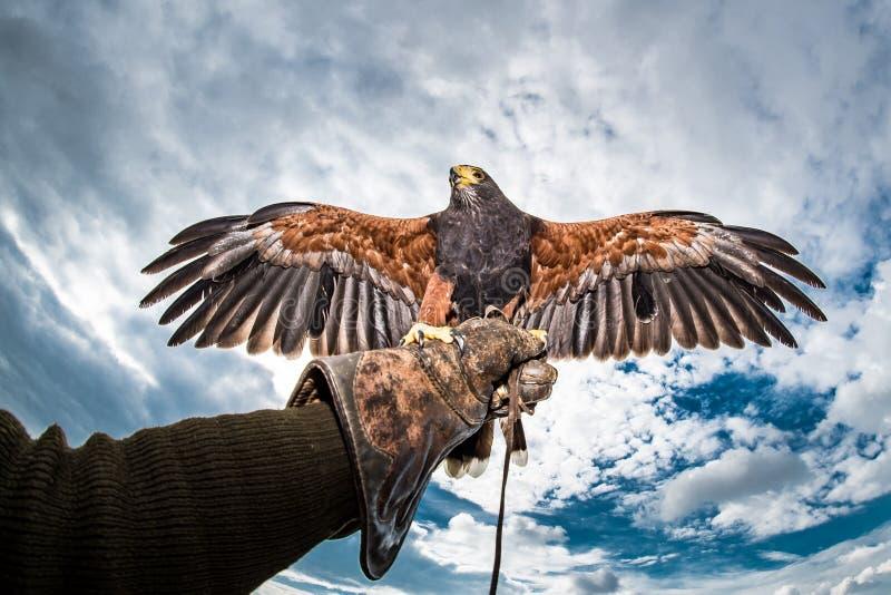 Harriss Falkeflügel streckten Handschuhfalkner aus stockfoto
