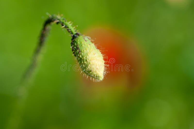 Hairy and closed poppy bud royalty free stock photo