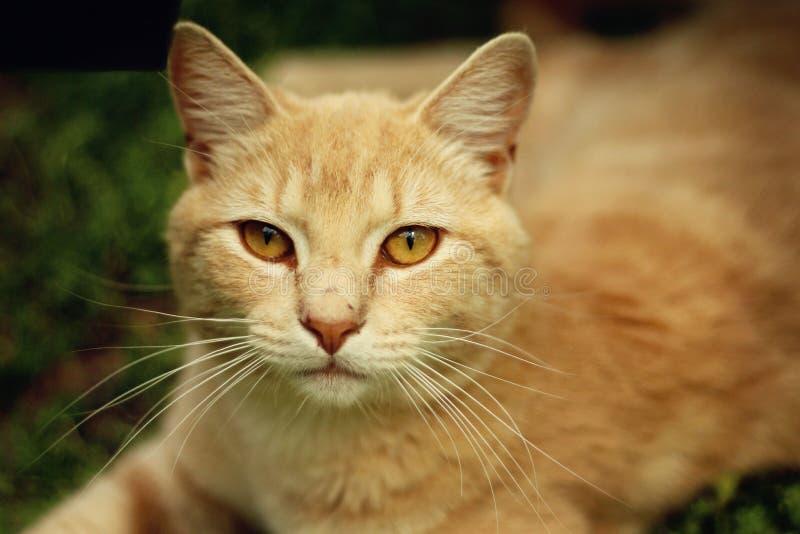 Harry strimmiga katten arkivfoto