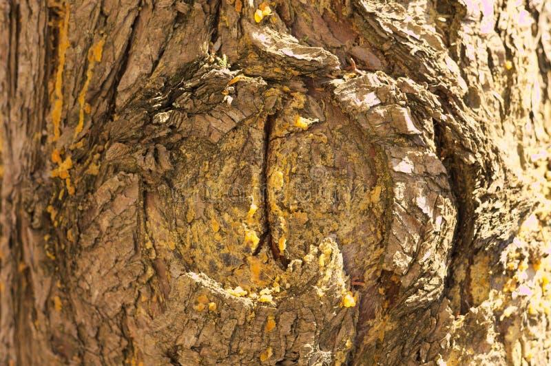 Hars in het hout van een boom royalty-vrije stock foto's