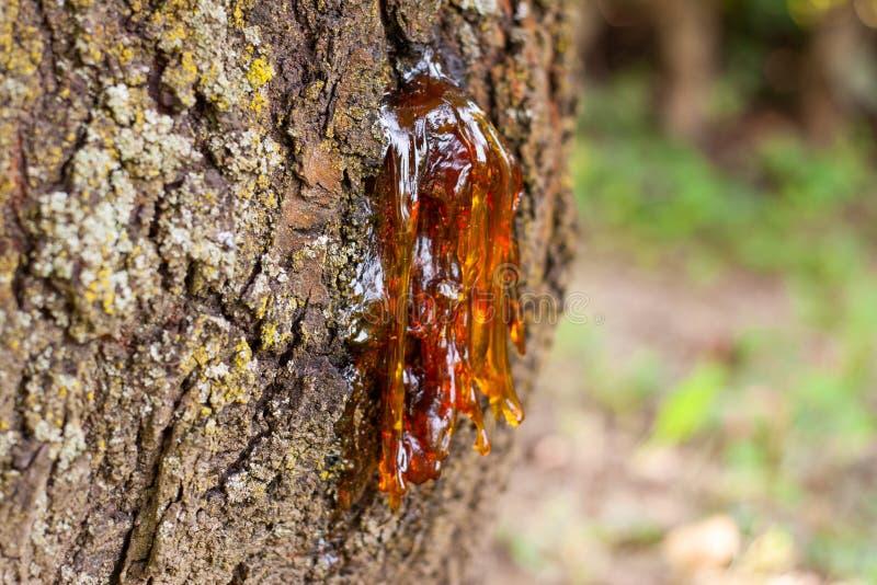 Hars van een oude kersenboom stock foto's