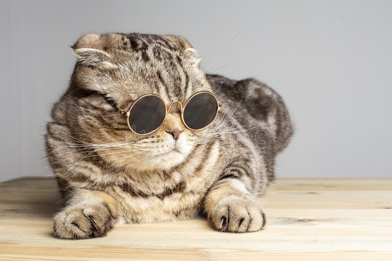 Harsh cat Scottish Fold in round dark glasses rests on a wooden table stock images