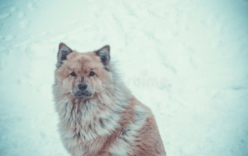 The harsh Northern dog royalty free stock photos