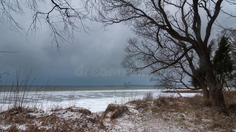 Harsh winter landscape. frozen lake shore with a bare tree against a gray-blue moody sky in wet windy weather stock photography