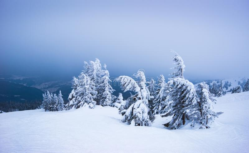 Harsh winter landscape inclined spruce trees. Harsh winter landscape, inclined spruce trees covered with snow sway in the wind while standing on a slope with stock photos
