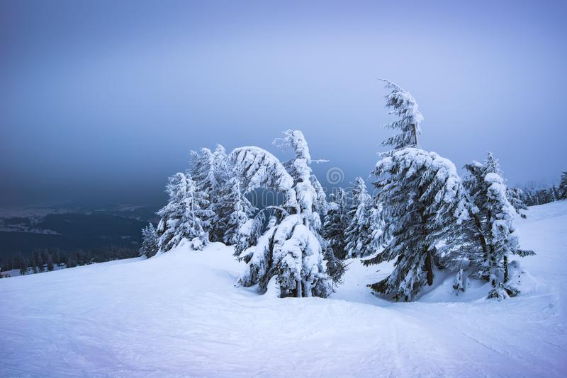Harsh winter landscape inclined spruce trees. Harsh winter landscape, inclined spruce trees covered with snow sway in the wind while standing on a slope with stock photo