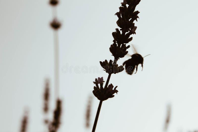 Hart arbeitend Biene sammelt Honig von den Blumen lizenzfreie stockfotografie