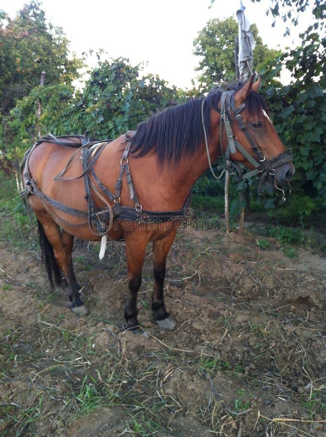Hart arbeitend Pferd in Rumänien lizenzfreie stockfotos