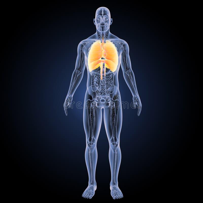 Hart en Ademhalingssysteem met anatomie voorafgaande mening royalty-vrije illustratie