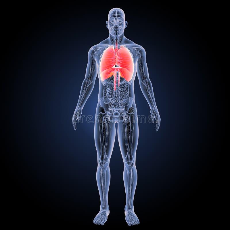 Hart en Ademhalingssysteem met anatomie voorafgaande mening vector illustratie