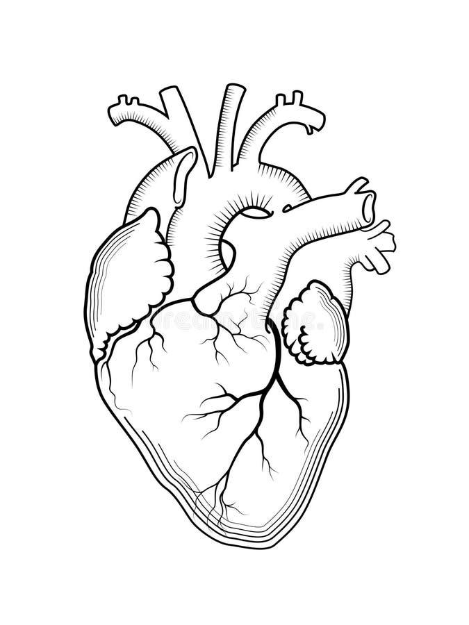 Hart Het interne menselijke orgaan, anatomische structuur stock illustratie