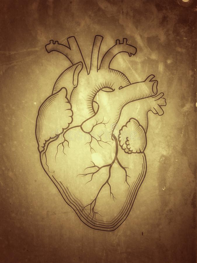 Hart Het interne menselijke orgaan, anatomische structuur royalty-vrije illustratie