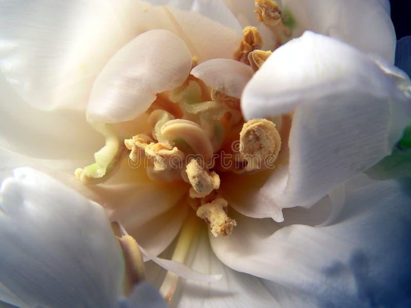 Hart van tulp royalty-vrije stock afbeelding