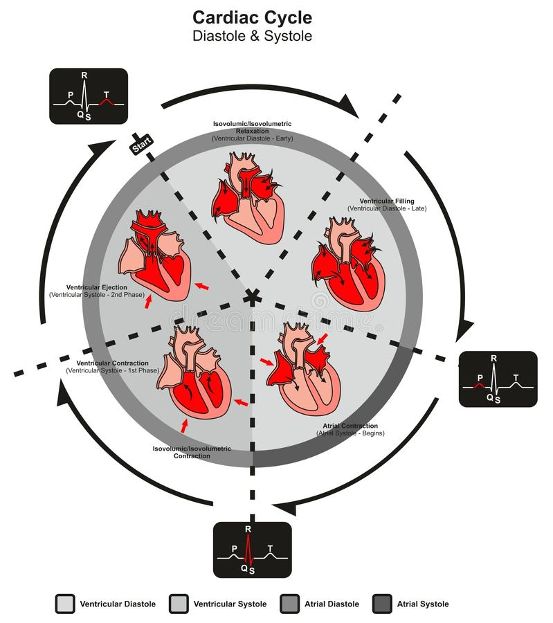 Hartcyclusdiastole en Systole van Menselijke Hartanatomie stock illustratie