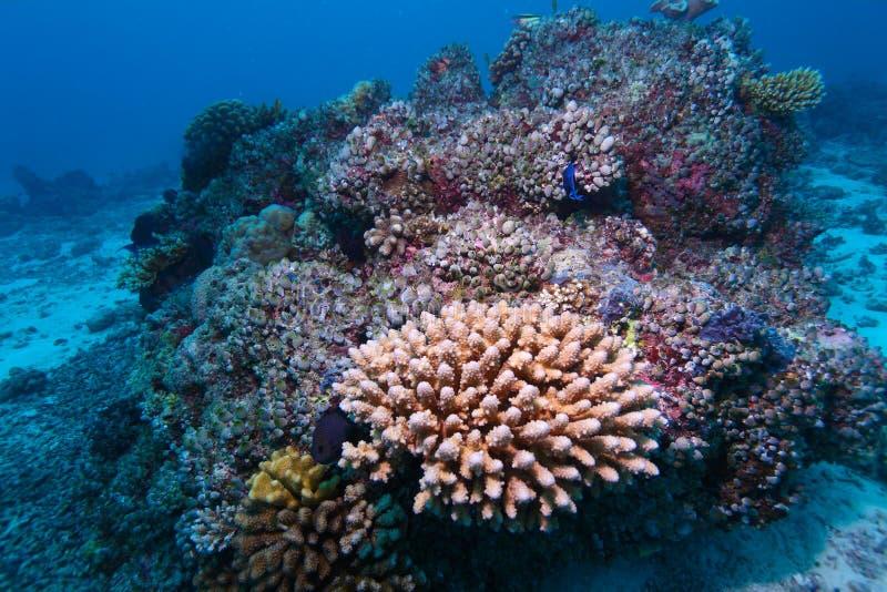 harte korallen im indischen ozean maldives unterwasser stockbild bild von wasser. Black Bedroom Furniture Sets. Home Design Ideas