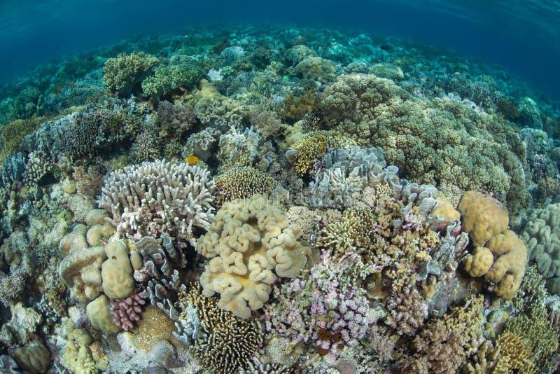 Harte und weiche Korallen, die für Raum in Indonesien konkurrieren lizenzfreie stockfotografie