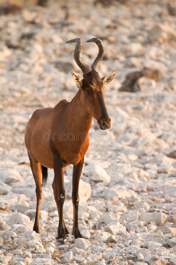 Download Hartebeest stock photo. Image of african, animal, photo - 18387034