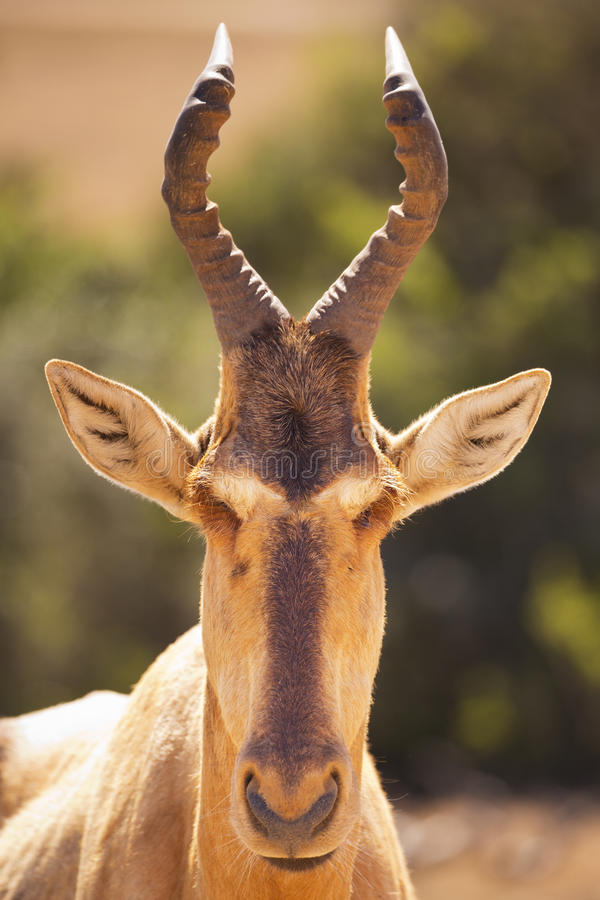 Hartebeest em Addo Elephant National Park, África do Sul imagem de stock royalty free