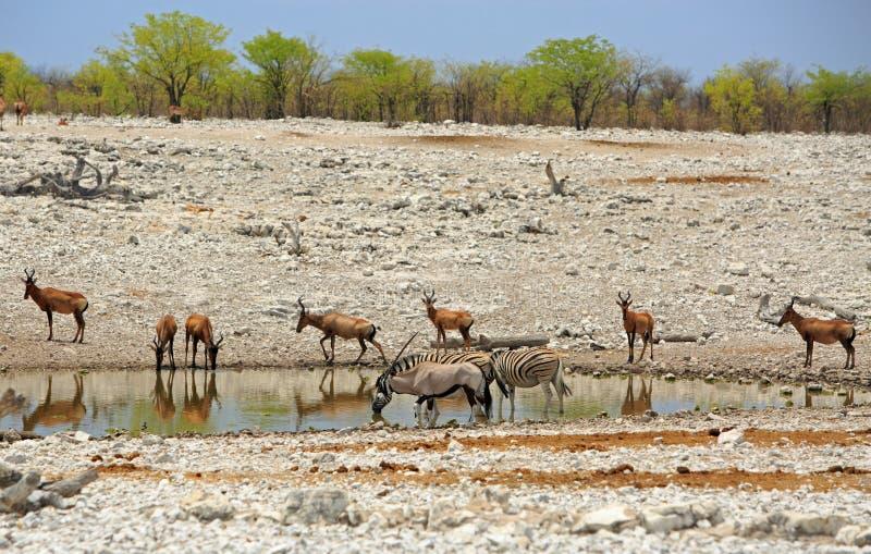 Hartebeest, Gemsbok Oryx & Hartebeest at a waterhole in Etosha stock photos