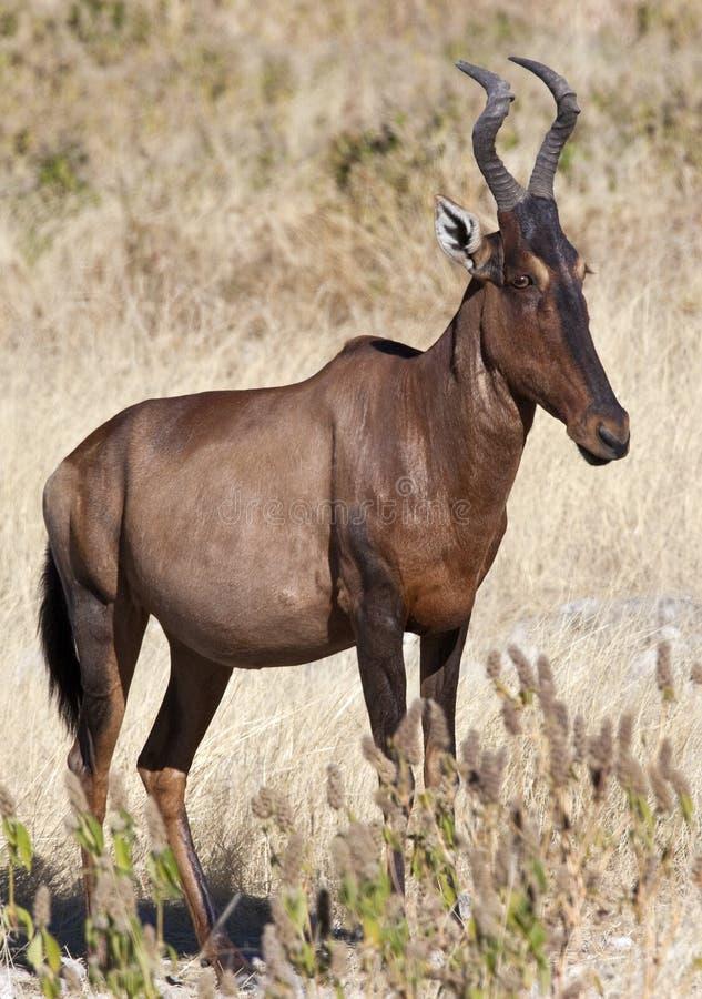 Hartebeest rosso - il Namibia fotografie stock libere da diritti