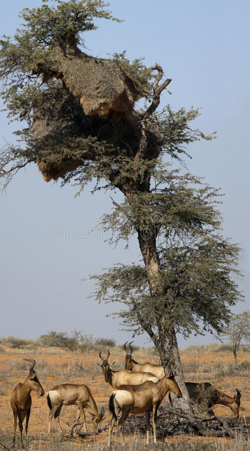 Hartebeest rouge dans le Kgalagadi images stock