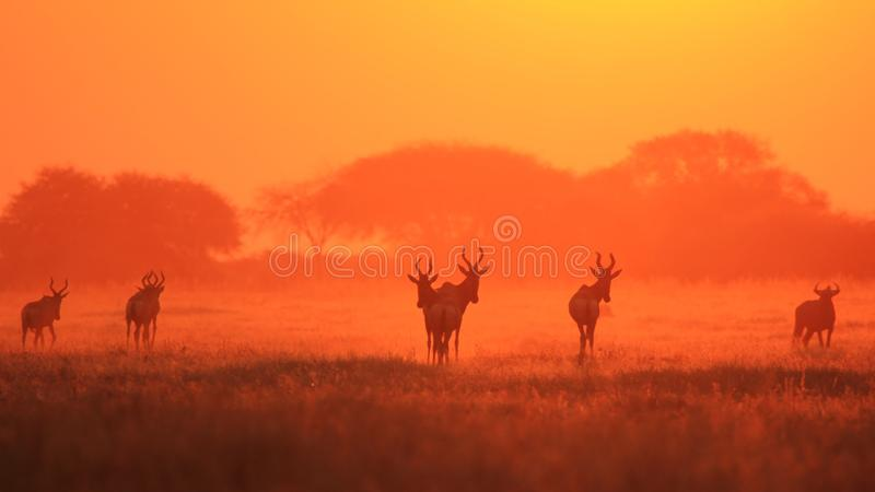 Hartebeest vermelho - fundo dos animais selvagens - sufocado no ouro do vermelho do por do sol imagem de stock
