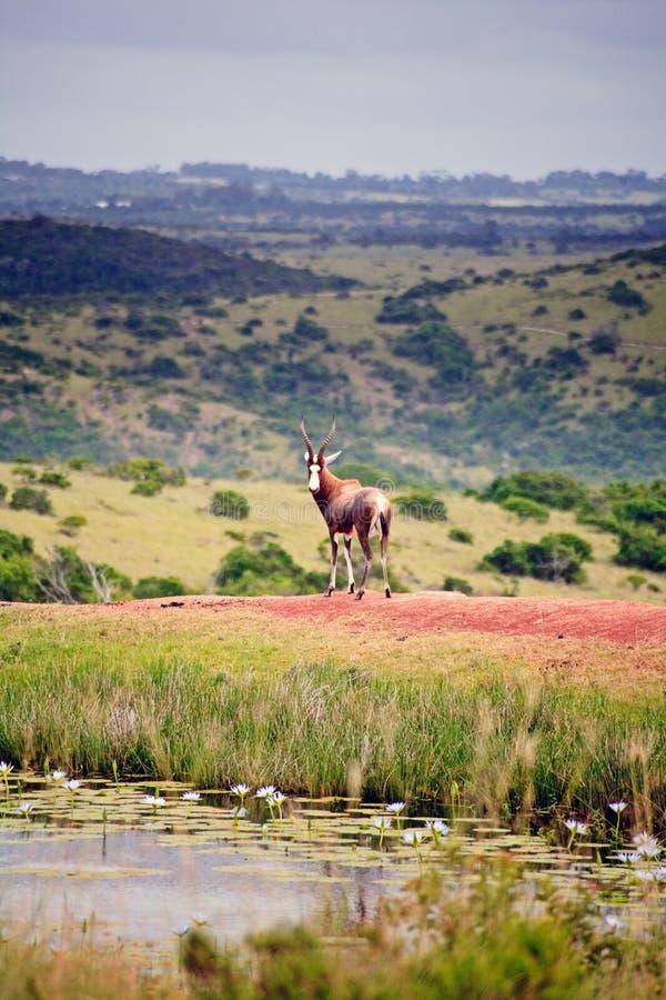 Hartebeest w gemowym parku, Południowa Afryka obraz stock