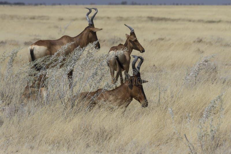 Hartebeests vermelho que descansa na grama alta, parque nacional de Etosha, Namíbia foto de stock royalty free