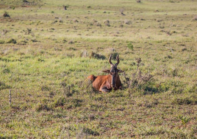Hartebeests vermelho vivo selvagem em Addo Elephant Park em África do Sul imagens de stock