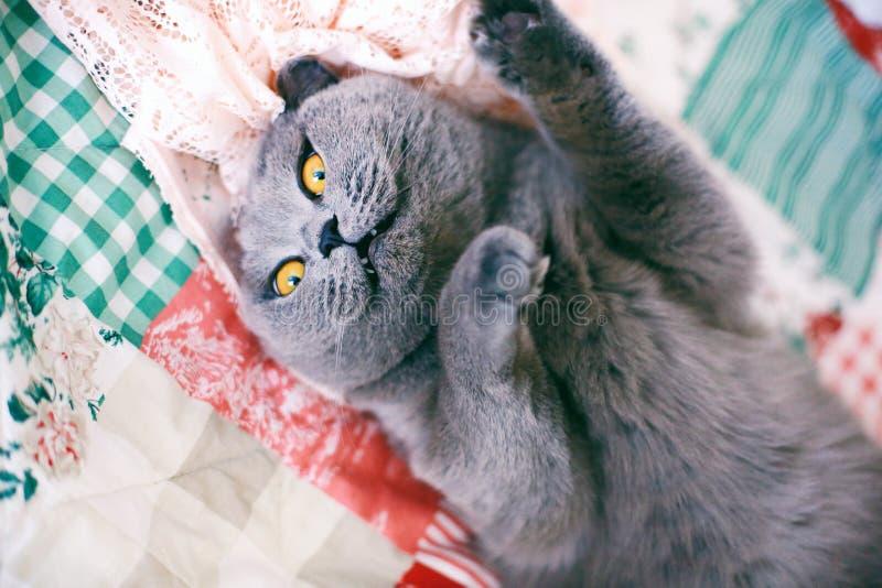 Hartelijke grijze kat die op de het warme deken en spinnen liggen stock foto's
