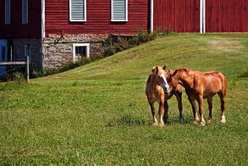 Hartelijke paarden in een weiland met rode schuur stock afbeelding