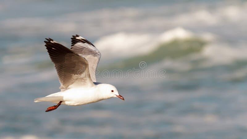 Hartlaub Gull in flight. Hartlaub`s Gulls in flight - Pearly Beach - South Africa royalty free stock photo