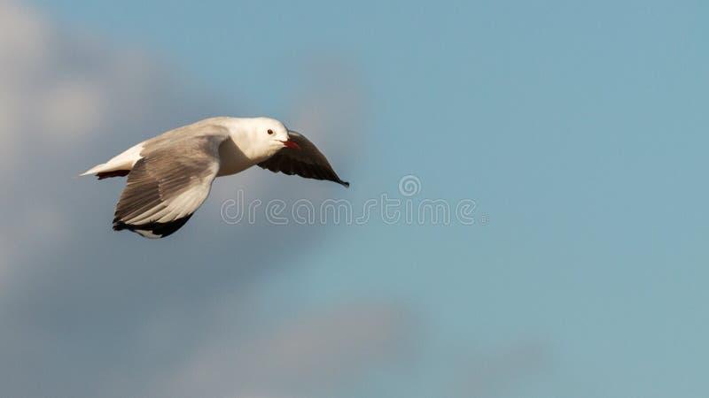 Hartlaub Gull in flight. Hartlaub`s Gulls in flight - Pearly Beach - South Africa stock images