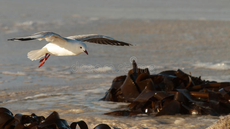 Hartlaub Gull in flight. Hartlaub`s Gulls in flight - Pearly Beach - South Africa stock photography