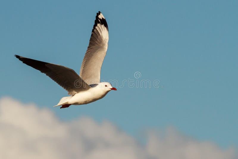 Hartlaub Gull in flight. Hartlaub`s Gulls in flight - Pearly Beach - South Africa stock photos