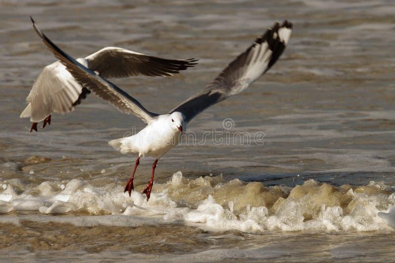 Hartlaub Gulls in flight. Hartlaub`s Gulls in flight - Pearly Beach - South Africa royalty free stock photo