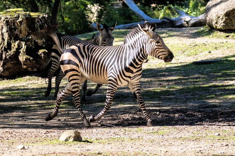 Hartmann-Bergzebra, Equuszebra hartmannae Ein gef?hrdetes Zebra lizenzfreies stockbild
