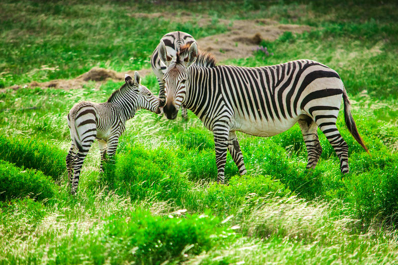 Hartmann mountain zebras royalty free stock image