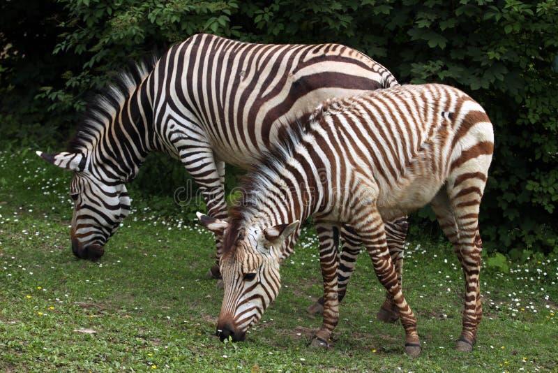 Hartmannae da zebra do Equus da zebra de montanha de Hartmann fotos de stock